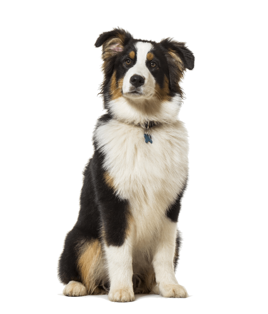 australian shepherd sitting for Dharma Dog