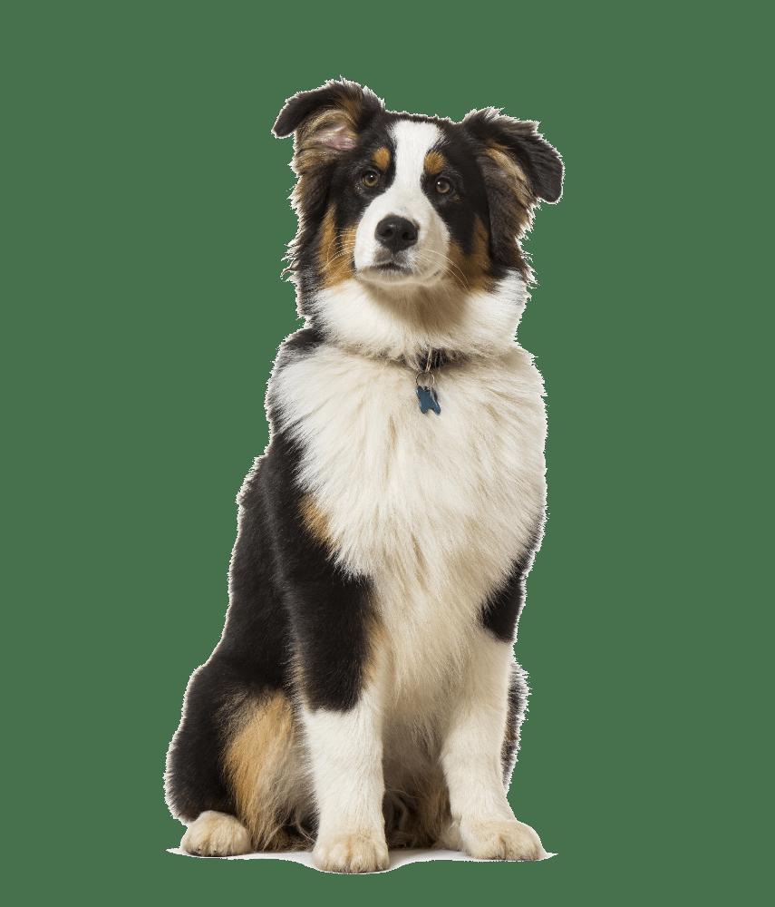 australian shepherd sitting for Dharma Dog
